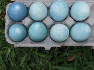 Easter eggs dyed with red cabbage!